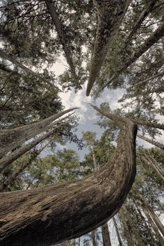 Tree Nature Photography To the Sky Green Gray Forest by ndtphoto, $24.00