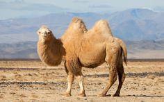 In China, Taklamakan Desert, Bactrian Camel, Desert Animals, Wild Animals, Gobi Desert, Cute Piggies, Animals Of The World, Humor