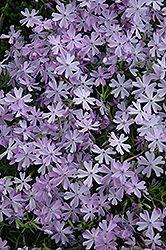 Scarlet Flame Moss Phlox (Phlox subulata 'Scarlet Flame') at English Gardens