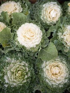 Extension Office, Ornamental Cabbage, Fall Planting, Citrus Heights, Early Spring, Pansies, Backyard, Seasons, Texture