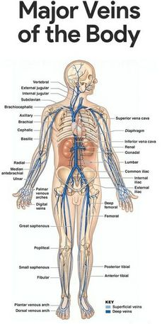 Major Veins - Another! Human Body Anatomy, Human Anatomy And Physiology, Muscle Anatomy, Medical Coding, Medical Science, Blood Vessels Anatomy, Interventional Radiology, Medical Anatomy, Medical Terminology