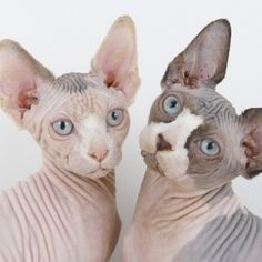 Sphynx Cat - http://catbreedsinformation.com/sphynx-cat/ The Sphynx Cat, originally from Canada, is a medium sized, hairless coated cat breed that has become quite popular among cat fans around the world.Some people may refer to this cat breed as a  Canadian Hairless and Canadian Sphynx because some cats are known by different names.The Sphynx Cats are said to have quite the personality. Their owners have said that they are often gentle, quiet, and friendly.Their personality
