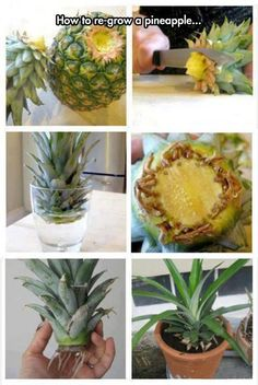Funny pictures about Re-Growing A Pineapple. Oh, and cool pics about Re-Growing A Pineapple. Also, Re-Growing A Pineapple photos. Indoor Garden, Garden Plants, Indoor Plants, Outdoor Gardens, Garden Soil, Container Gardening, Gardening Tips, Organic Gardening, Vegetable Gardening