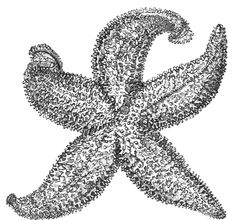 Vintage, black and white starfish drawing from a book about the Isle of Wight that was written in 1848.