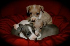 My sweet Miniature Italian Greyhound puppies