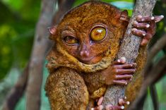 big-eyed tarsier - photo/picture definition at Photo Dictionary - big-eyed tarsier word and phrase defined by its image in jpg/jpeg in English Most Endangered Animals, Rare Animals, Unique Animals, Animals Beautiful, Pretty Animals, Exotic Animals, Endangered Species, Sour Gummy Bears, Adorable Cute Animals