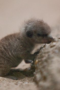 Little meerkat takes a nap while standing. :)