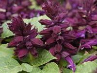 Image of Salvia splendens 'Vista Purple'