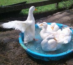 Maybe you or someone you know keeps chickens. But what about raising ducks? Duck eggs are tasty, ducks are social creatures, and ducklings are as cute as can be. Raising Backyard Chickens, Backyard Poultry, Backyard Farming, Pet Chickens, Farming Life, Keeping Chickens, Urban Farming, Rabbits, Duck Breeds