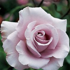 Lagerfeld: Buy this unique grandiflora from Jackson and Perkins--you'll love the pale lavender blooms and sweet spicy fragrance! Lavender Roses, Pink Roses, Purple Flowers, Flowers Pics, Lavender Garden, Lavender Color, Rose Flowers, Cut Flowers, Rose Petals