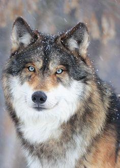Le loup !