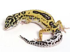 Bold Black & White - Halloween Mask X TUG Snow Leopard Gecko ...