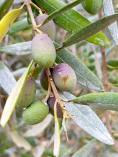 Huile d'olive : de la cueillette des olives à la mise en bouteille Plum, Seasonal Recipe, Olive Oil, October, Bottle, Recipes