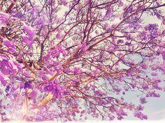jacaranda trees in little italy, san diego, ca. Jacaranda Trees, Little Italy, Spotlight, San Diego, The Neighbourhood, Favorite Things, New Homes, Bloom, Explore
