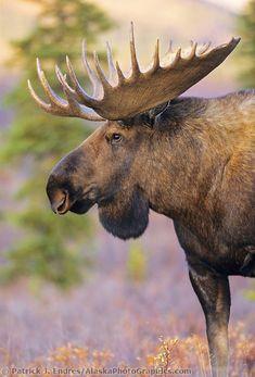 Bull moose portrait, Denali National Park, Alaska