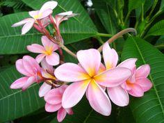 beautiful flowers | Plumeria Flower – Flowers are Beautiful Seen | Most Beautiful Flower