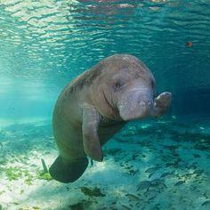 Embedded sea creatures, cute creatures, all gods creatures, beautiful creatures, animals beautiful Water Animals, Animals And Pets, Baby Animals, Funny Animals, Amazing Animals, Animals Beautiful, Sea Cow, Ocean Creatures, Tier Fotos