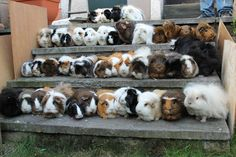 Omg I'm so in love.  http://fc06.deviantart.net/fs70/i/2012/060/e/6/all_44_of_my_guinea_pigs_by_clerdy-d4rdcll.jpg