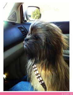 Chewbacca in Real Life....i just died laughing!!