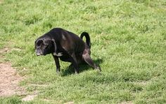 Hund tissser på græsplæne