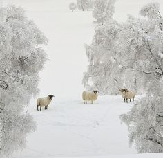 Sheep in the snow. Visit the Highlands of Scotland for a winter wonderland holiday close to home. Perfect for a UK winter break! Winter Szenen, Winter Magic, Winter White, Winter Christmas, Magic Snow, Winter Horse, Snow White, Merry Christmas, Hirsch Illustration
