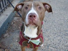 TO BE DESTROYED - 01/07/15 Manhattan Center -P  My name is JINGLES. My Animal ID # is A1023985. I am a male tan and white pit bull mix. The shelter thinks I am about 2 YEARS old.  I came in the shelter as a STRAY on 12/24/2014 from NY 10026, owner surrender reason stated was STRAY.