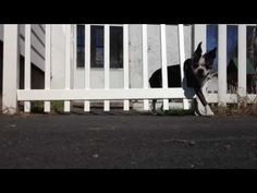 No Fence can Hold this Boston Terrier! Watch the Video ► http://www.bterrier.com/?p=5068 - https://www.facebook.com/bterrierdogs