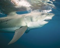 Image: Great white shark charges by after grabbing at bait, South Australia. (©…