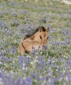 Foal in the Lupine
