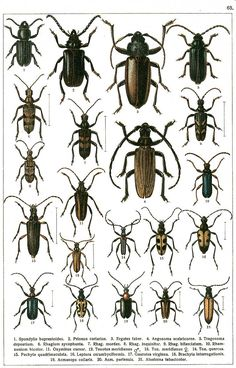 """G.G. Yakobson (1905-1915) - """"Beetles of Russia"""": table 63"""