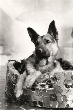 Thor, a young German shepherd, sitting on a pet bed, with ears alert, stares at Sheila who is off camera. David Douglas Duncan