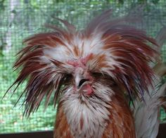 Exotic Chicken Breeds | Rare Chicken Exhibit, Learnings Run Garden, Cape May, New Jersey]