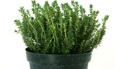 Thyme is brimming with an essential oil that is rich in thymol. Thymol, along with rosmarinic and ursolic acids are terpenes (similar to those in rosemary) and possess anti-cancer properties. Thyme can also be used as an antiseptic, antibacterial, and a strong antioxidant. When used in mouthwashes, it can treat inflammations of the mouth and throat.