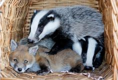 Abandoned baby fox Phoebe becomes best friends with orphaned two BADGERS at Whitby animal sanctuary Badger Pictures, Cubs Pictures, Wild Pictures, Wild Animal Sanctuary Colorado, Wild Animal Rescue, Baby Badger, Wild Creatures, Cute Animals, Cutest Animals
