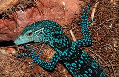 Blue Tree Monitor Lizard | blue spotted tree monitor lizard , colorful , reptile , Varanus ...