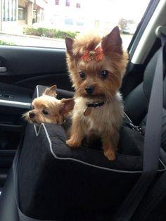 Lillie & Ry Yorkies love to go bye-bye in the car! #yorkshireterrier