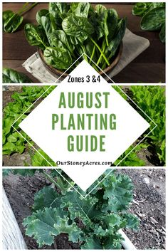 Wondering if you can still get your garden started in August? You definitely can! August planting in Zones 3 and 4 is going to be focused on fall and winter crops. #gardening #vegetablegardening #backyardgardening