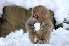 Chilling out: An adorable little monkey makes a snowball in Japan.The…