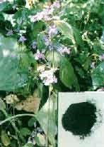 INDIGO NATURALIS aka Quing Dai | Chinese Herbal Medicine Treatment for Psoriasis, Eczema | DuiYaoOnline.com