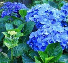 Toss a few pennies in the soil to turn hydrangeas blue
