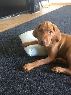 Vizsla Dog, Vizsla Puppies, Cute Puppies, Dogs And Puppies, Cute Cats And Dogs, Doge, Cute Baby Animals, Dog Stuff, Dog Life