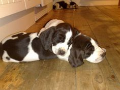 ..sleepy puppies..and look at little Beppe in the background..asleep in empty waterbowl.