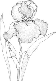 Click to see printable version of Iris Blossom coloring page