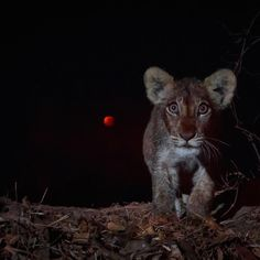 Lion cub and the #supermoon eclipse   Photography by ©Burrard Lucas