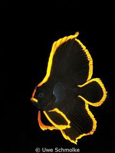 Golden - juv. batfish