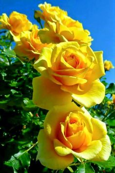 The Yellow Rose of Texas. Yellow Roses are all about platonic love and friendship. Often sent as a get well gift, yellow roses also represent happiness, delight, and new beginnings. Amazing Flowers, Beautiful Roses, Beautiful Gardens, Flowers For You, Pretty Flowers, Exotic Flowers, Fresh Flowers, Foto Rose, Yellow Flowers