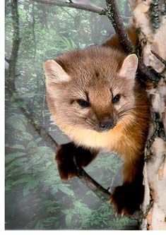 Pine Marten. Throughout Northwestern Ontario, preferring mature coniferous forests; also in mixed stands and cedar swamps; sometimes around picnic sites, logging camps and garbage dumps.