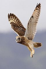 Hawaiian Owl In flight