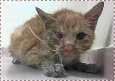 NYC ACC-Brooklyn Center- RUBY – A1026842 – 13 weeks, Orange Tabby DSH, Female, Stray- RIGHT EYE RUPTURED GLOBE- DEHYDRATED https://www.facebook.com/PetsOnDeathRow/photos/a.255779241100582.77234.155925874419253/945232272155272/?type=1&theater