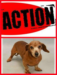 SUPER URGENT Manhattan Center LIL NICKY – A1058912 ***HIT BY CAR – NEEDS FOLLOW UP VET CARE ASAP*** MALE, RED, DACHSHUND, 13 yrs STRAY – STRAY WAIT, NO HOLD Reason STRAY Intake condition EXAM REQ Intake Date 11/25/2015, http://nycdogs.urgentpodr.org/lil-nicky-a1058912/